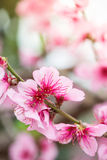 Fresh early spring blooming tree with Royalty Free Stock Image