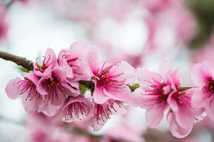 Fresh early spring blooming tree Stock Photo