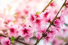 Fresh early spring blooming tree Royalty Free Stock Photos