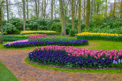 Fresh early spring pink, purple, white hyacinth bulbs. Flowerbed with hyacinths in Keukenhof park, Lisse, Holland, Netherlands stock photo