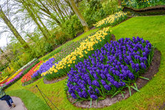 Fresh early spring pink, purple, white hyacinth bulbs. Flowerbed with hyacinths in Keukenhof park, Lisse, Holland, Netherlands royalty free stock photos