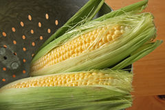 Fresh ears of corn. Whole fresh raw corn on the cob with husk Royalty Free Stock Image