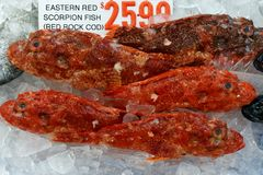 Fresh Red Rock Cod, Sydney Fish Markets, Australia. Fresh Eastern Red Scorpion fish, or Red Rock Cod, for sale at the Sydney Fish Markets, Pyrmont, NSW Stock Photography