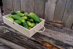 Fresh eco cucumbers. In wooden box in the garden Royalty Free Stock Photography