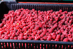 Fresh eco raspberries background Stock Image