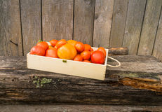 Fresh eco tomatoes Stock Photography