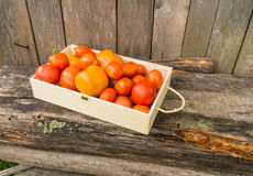 Fresh eco tomatoes Royalty Free Stock Photo