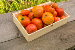 Fresh eco tomatoes Royalty Free Stock Images