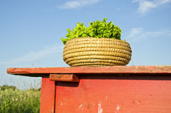 Fresh ecological lettuce leaves in wooden basket on red table Stock Photography