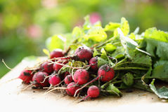 Fresh ecological radishes. A bunch of fresh ecological radishes on the table Stock Photos