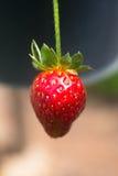 Fresh ecology single strawberry background Stock Photo