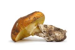 Fresh edible Amanita mushroom Royalty Free Stock Images
