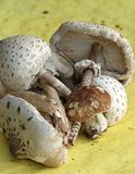Fresh edible mushrooms just collected Royalty Free Stock Photo