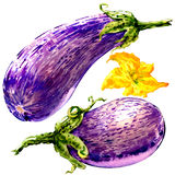 Fresh eggplant graffiti, striped eggplant, two vegetables with flower isolated, watercolor illustration on white Stock Photos