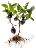 Fresh Eggplant vegetable on a branch Royalty Free Stock Image