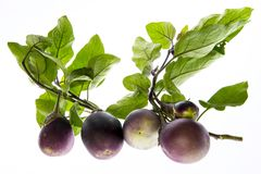 Fresh Eggplant vegetable on a branch Stock Photography