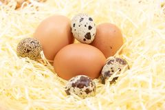 Fresh eggs on the farm in straw - chicken egg and quail egg royalty free stock images