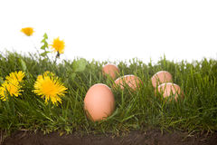 Fresh eggs in grass frontview. Fresh eggs on grass . isolated on a white background. please have a look at my other images about this theme Stock Image
