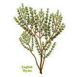 Fresh English Thyme Herb. English Thyme, fragrant, popular garden herb used to season meats, stews, poultry & vegetables. Classic ingredient of French herb Royalty Free Stock Images