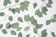 Fresh eucalyptus leaves. On white background, top view stock image