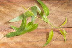 Fresh eucalyptus leaves on wooden background stock images