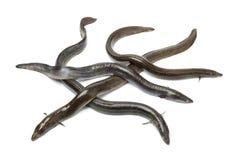 Fresh  European eel Royalty Free Stock Photography