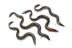Fresh  European eel Stock Image