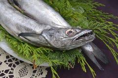 Fresh European hake caught a hook. Two fresh European hake fishing hook, two whole and raw hake in tray Royalty Free Stock Image
