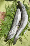 Fresh European hake fishing hook. Two whole and raw hake in tray Stock Photo