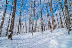 Fresh fallen snow in an urban maple winter woods.  Buckets gathering tree sap for syrup. Stock Photography
