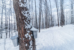 Fresh fallen snow in an urban maple winter woods.  Buckets gathering tree sap for syrup. Royalty Free Stock Photos
