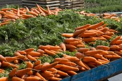 Fresh carrots from the farm Stock Photos