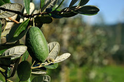 Fresh feijoa. Acca sellowiana, almost ready to harvest in a home orchard in Westland, New Zealand Stock Images