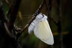 Fresh Female White Satin Moth Emergent. A freshly emerged female White Satin Moth hangs upside down to dry her wings on dwarf willow at Ainsdale local nature stock images