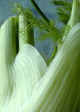 Fresh fennel Stock Photos