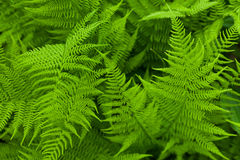 Fresh fern. Background. Close up Royalty Free Stock Image