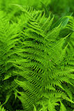 Fresh fern. Background. Close up Royalty Free Stock Photos