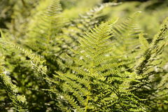 Fresh fern Royalty Free Stock Photos