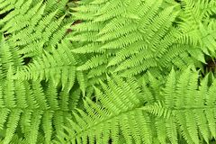 Fresh fern Stock Photo