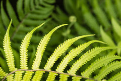 Fresh fern frond Stock Images