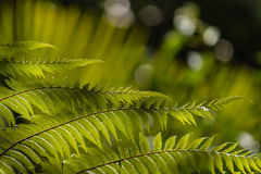 Fresh fern fronds on blurred background Stock Photo