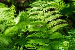 Fresh fern Royalty Free Stock Photos