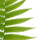 Fresh fern leaf Royalty Free Stock Photo