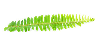Fresh fern leaf Stock Images