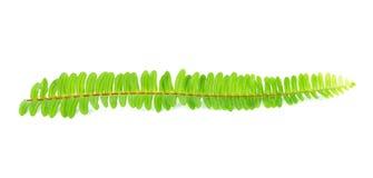 Fresh fern leaf Stock Photography