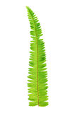 Fresh fern leaf Royalty Free Stock Photo