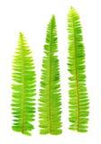 Fresh fern leaf Stock Image