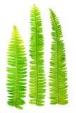 Fresh fern leaf Royalty Free Stock Photos