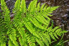 Fresh fern leaves in the forest in spring. Stock Photo