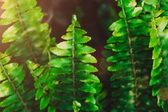 Fresh fern leaves. Green natural background. stock image